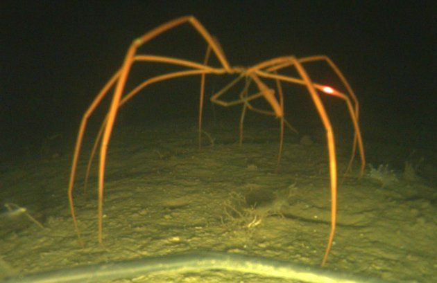 Giant sea spider-THIS IS BIGGER THAN A HUMAN. Ohh heck nooo