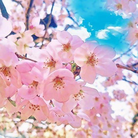 【jhon.muso.hana】さんのInstagramをピンしています。 《噂のアプリで加工してみたらごっつええ感じに(゚∀゚)✨ 2年前に神戸で撮ったやーつ  #桜 #春 #もう2月 #もうすぐ #春やね🌸》