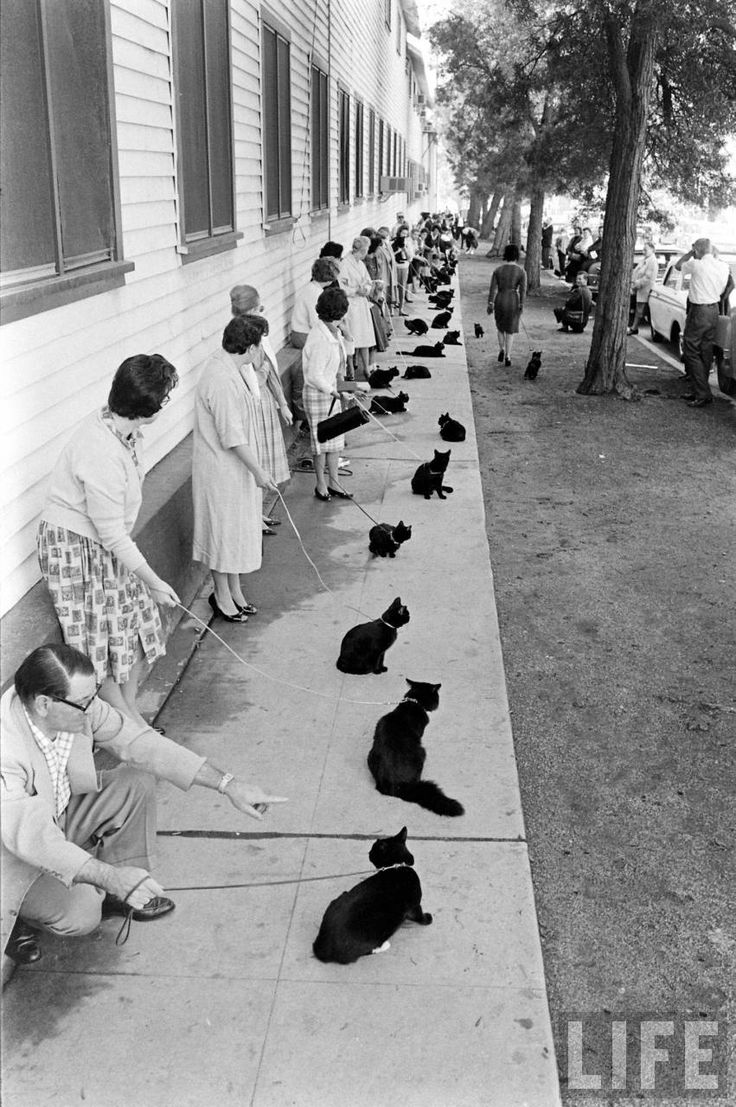 Black Cat Auditions in Hollywood, 1961 image via Retronaut with permission of LIFE magazine.: 1961 Audit, Hollywood 1961, Ralph Cranes, Cat Artsandcraft, Life Magazines, Cat Cast, Cat Audit, Black Cat, Cat Lady