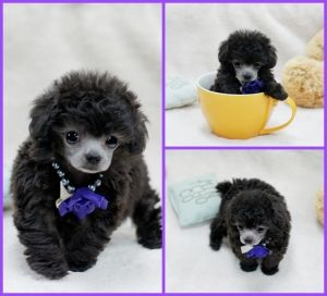 Gypsy Teacup Poodle! She is a beautiful silver girl. #teacupdogslist #teacupdogs #teacupbreeds #popularTeacups
