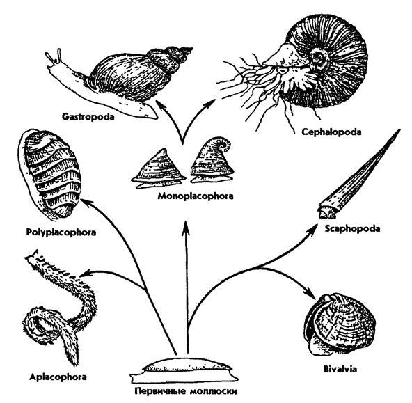 Рис. 249. Эволюция раковины моллюсков