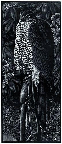 Goshawk by Charles F. Tunnicliffe