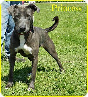 Lawrenceburg, TN - Weimaraner/Doberman Pinscher Mix. Meet Princess, a dog for adoption. http://www.adoptapet.com/pet/12925394-lawrenceburg-tennessee-weimaraner-mix