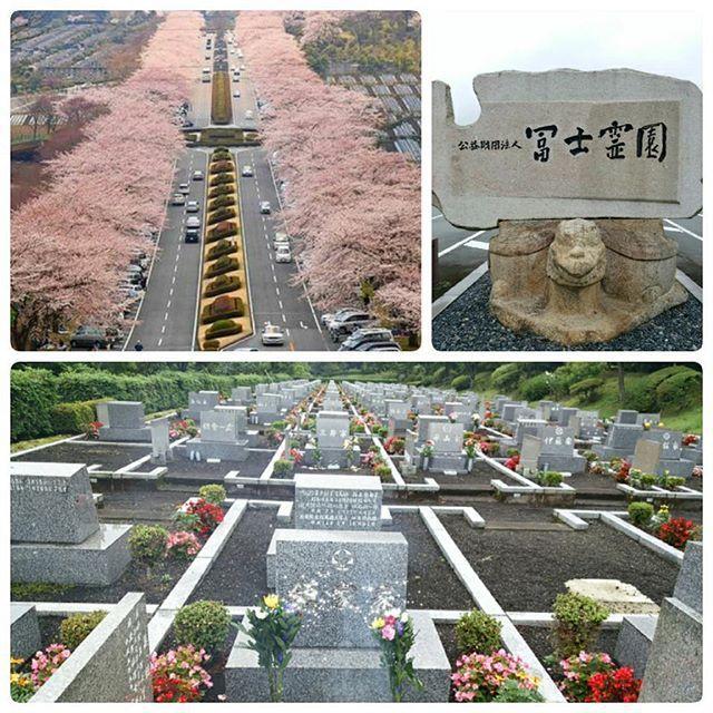 【w.e_e.w】さんのInstagramをピンしています。 《** パパさん 出張 予定よか1日 早く帰宅れたので #お墓参り お天気イマイチで #富士山 🗻 見えない  #著名人 も多い 日本 #さくら 名所 100選 #春 に行くと #霊園 なのに #桜 #お花見 #🌸 #墓参り #富士霊園 #富士スピードウェイ #静岡 #御殿場 #小山 #cemetery #fujicemetery #Japan》