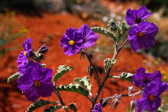 Purple wildflowers against the red earth: Solanum sp. in outback Western Australia