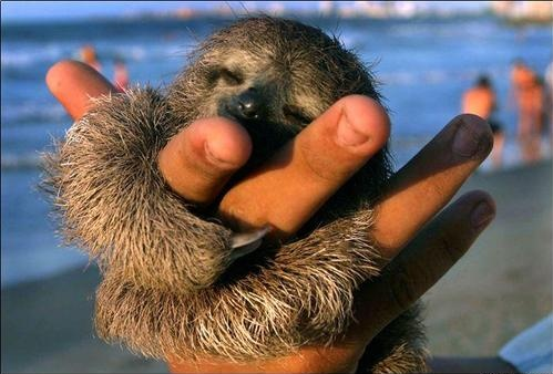 ... baby + sloth = baby sloth = CUTEST EVER.