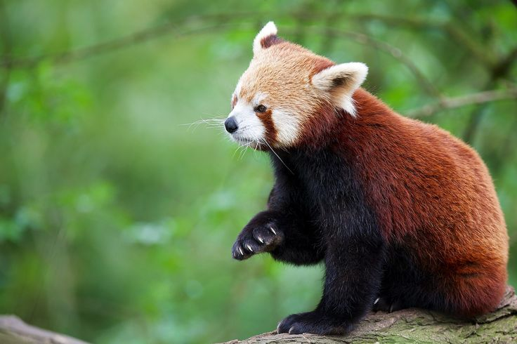 "The Chinese name for the red panda is ""hun-ho,"" meaning ""fire fox."""