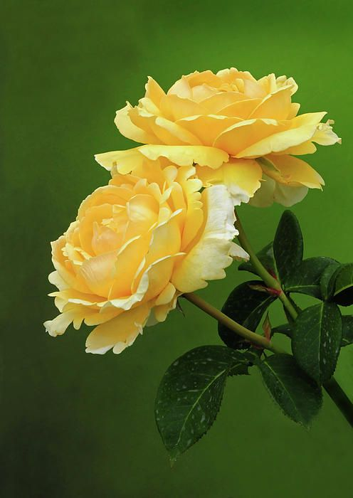 Two Yellow Roses--One for my Momma and one for Aunt Inez--Two Yellow Roses of Texas