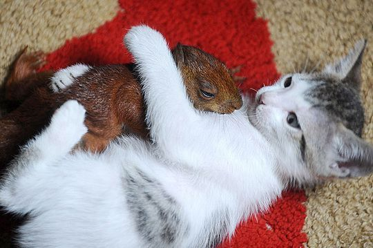 Mother cat takes in baby squirrel. I'm dying. So. Much. Cuteness.