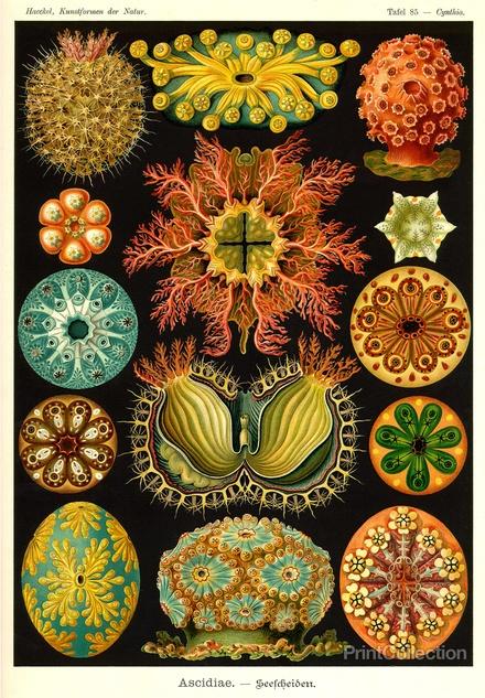 Ernst Haeckel - Ascidiae   PrintCollection