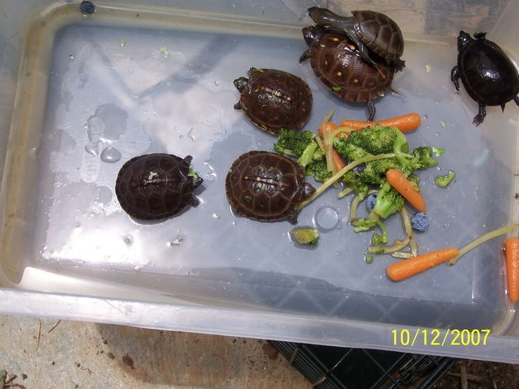 baby turtles eating veggies I like..turtles. Pinterest