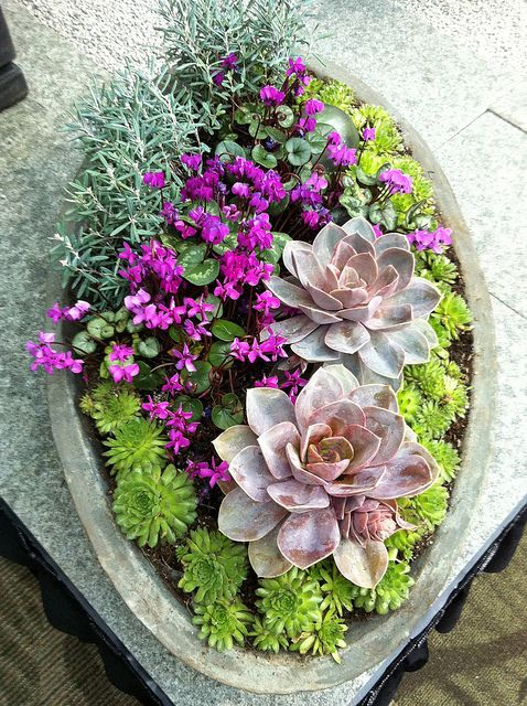 Succulents & Cyclamen, by AGA~mum,  I really like the idea of using Cyclamen with succulents. The water needs may be the same or different. Watch carefully.
