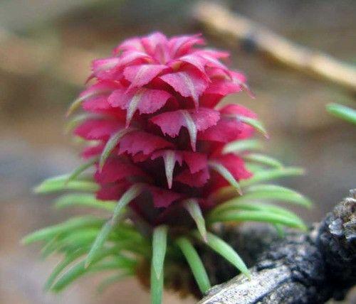 Восхитительное зрелище! Полярная роза - Так цветет лиственница. Обсуждение на LiveInternet - Российский Сервис Онлайн-Дневников