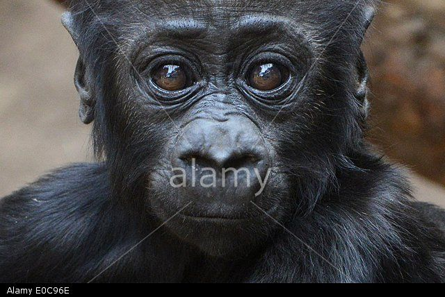 Leipzig, Germany. 08th May, 2014. Five-month old baby gorilla Jengo at Leipzig zoo. Credit: dpa/Alamy Live News