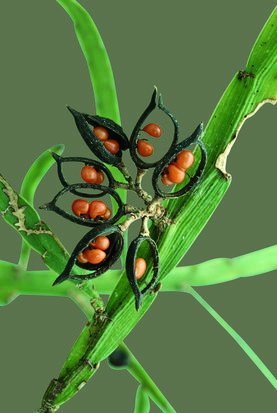 Seed pods of Carmichaelia australis, check this site and save a life, http://www.avaaz.org/en/petition/Sign_this_Petition_to_send_NinaOhmanC_Ojeda_to_Nova_Scotia_to_a_clean_environment_with_no_pollution/?copy                                                                                                                                                      More Flower seeds, vegetable seeds