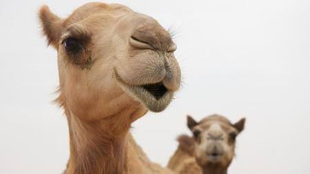 アラブ料理食べてみたいアラビアンフェスティバル代々木公園で--ラクダと記念撮影もできる