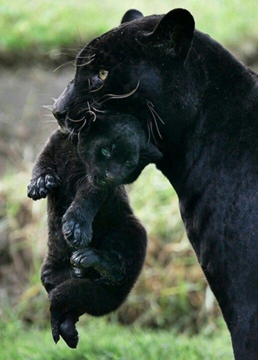 Black panther's mama cat                                                                                                                                                     More