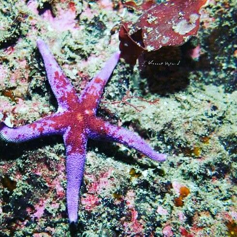 Bloody Henry Starfish at Wild Derrynane