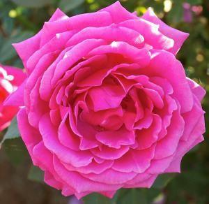 Miranda Lambert Hybrid Tea Rose- Photo Credit: Certified Roses