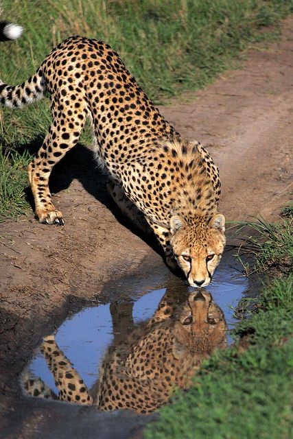 Cheetah Drinking in the Masai Mara by Rob Kroenert on Flickr.