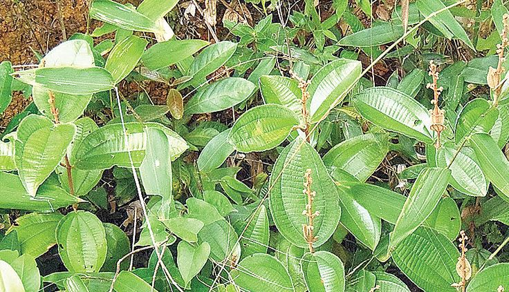 Canela de velho: planta 'poderosa' contra uma artrose