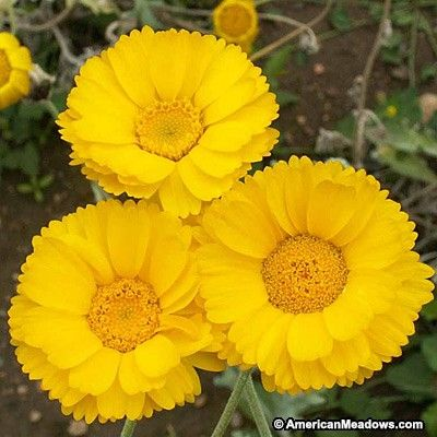 The cheery, gold daisy-like flowers of this easy wildflower are common all over our southwestern deserts. Annual.