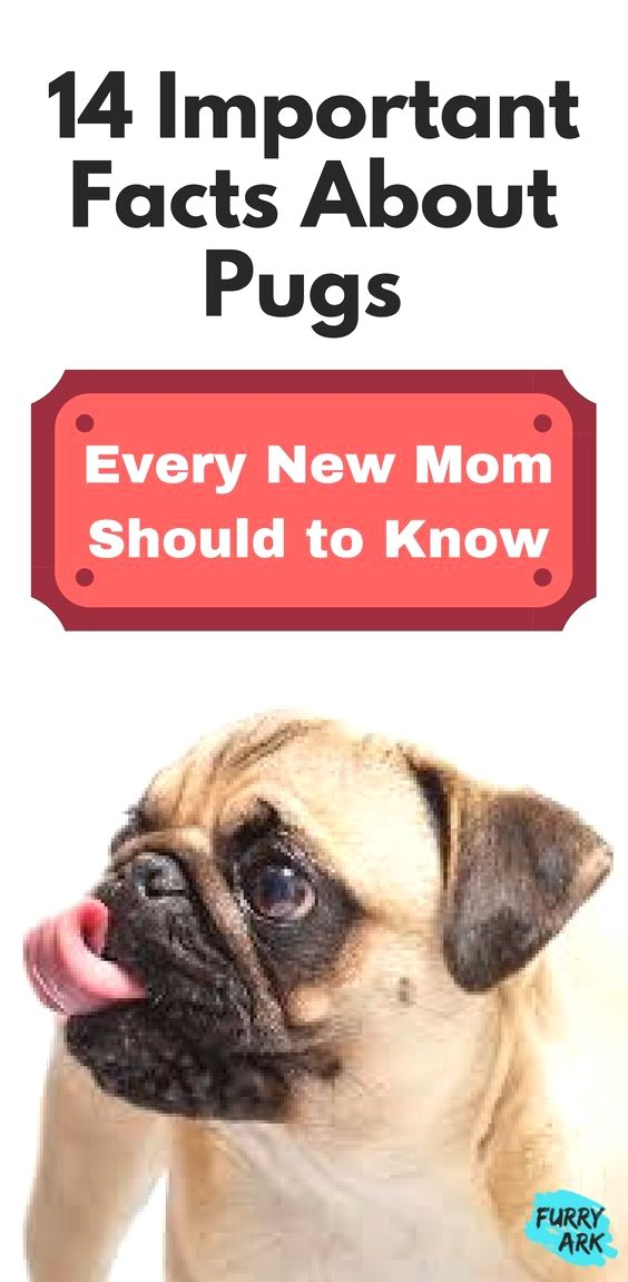 Pin By Dogs On Pug Pug Facts Pugs Important Facts