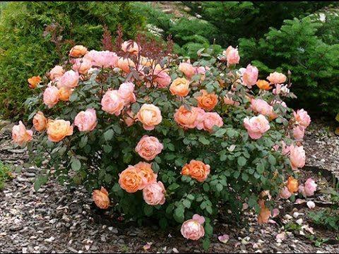 Выращивание роз - ПРИВИВКА РОЗ и как выращивать розы ? - YouTube