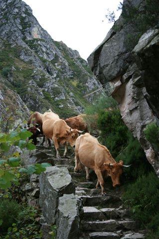 ¿Qué sería de Asturias sin sus vacas? Asturias - Spain  #Asturias #Spain