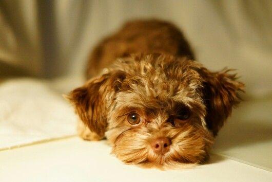 Sweetie Bolonka Zwetna Puppy