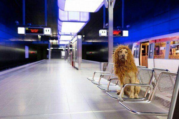 Собака-лев в городских джунглях