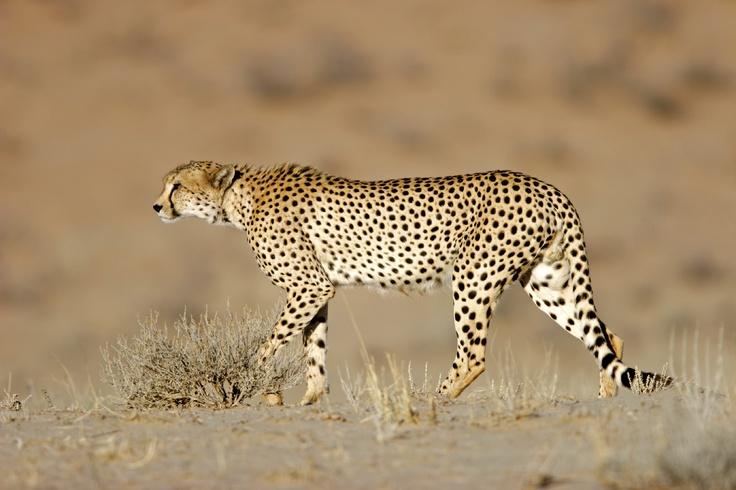 Cheetah  #kalahari #botswana #safari #africa #travel #bushmen #desert #bigfive #wildlife #animals #lodgeaccommodation #gameviewing