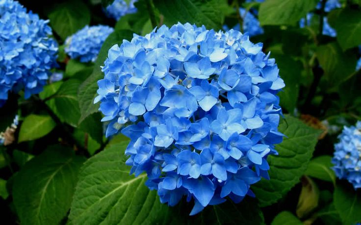 Endless Summer provides beautiful, 8-inch diameter, blue flowers all summer long and deep into fall. It is equally hardy as it is beautiful.