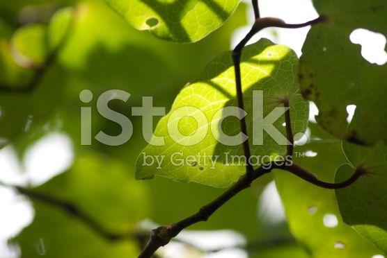 Kawakawa (Piper excelsum) royalty-free stock photo