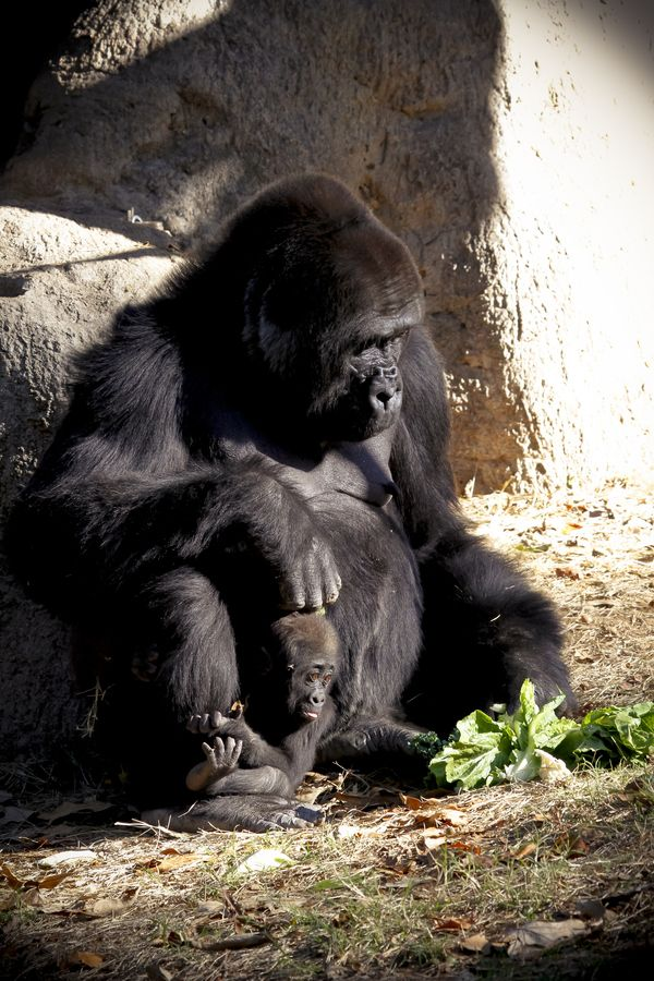 Female Gorilla with her baby at Atlanta zoo.