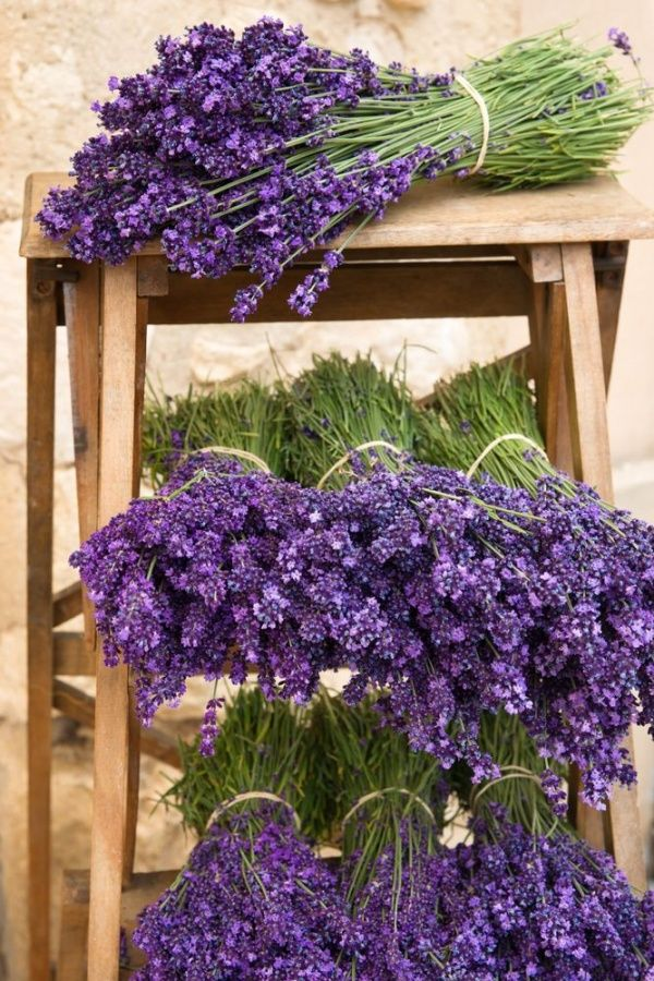 Lavander: Lavandula [Family: Lamiaceae] ready ot hang-up for drying