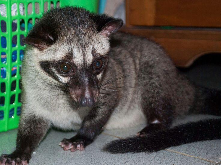 Musang Pandan (Paradoxurus hermaphroditus) /Luwak