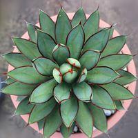 Сочные растения агава семена, бонсай балкон цветок агавы в горшке семян - 20 шт.