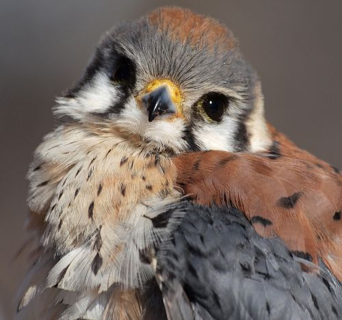 American Kestrel. (by ml_thorsteinson on flickr)