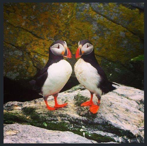 Macareux sur l'île White Head, près de Grand Manan | La faune au Nouveau-Brunswick, au Canada #ExploreNB | Photo: @nbstormchaser / Instagram http://www.tourismenouveaubrunswick.ca/Produits/G/Ile-Grand-Manan.aspx