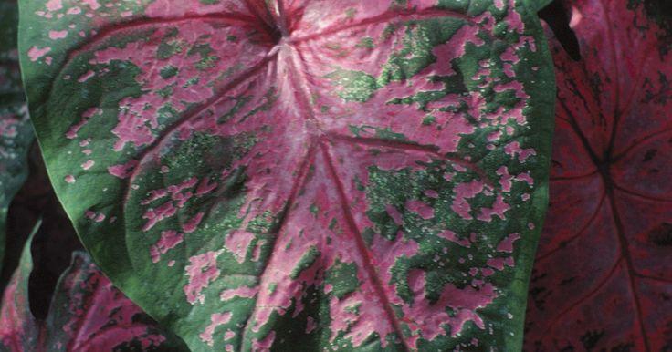 Plantas caseras venenosas para beb s pinterest plantas for Plantas decorativas interior venenosas
