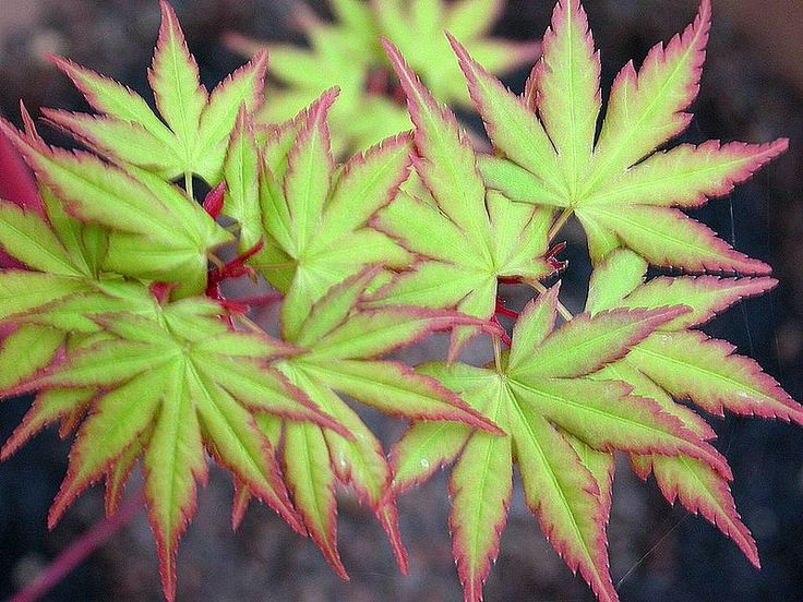 leaves of the Japanese Maple 'Sango kaku'