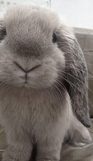 Lop eared grey bunny