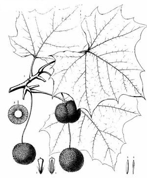 Collecting and preparing a sycamore to grow from seed is relatively easy but needs to be done correctly. This resource shows you how to prepare and properly germinate a sycamore seed.