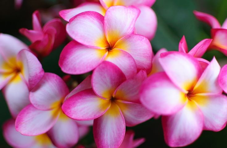 11 best Plumeria images on Pinterest | Frangipani blüten, Exotische ...