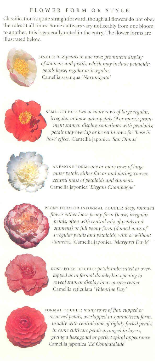camellia styles & identification