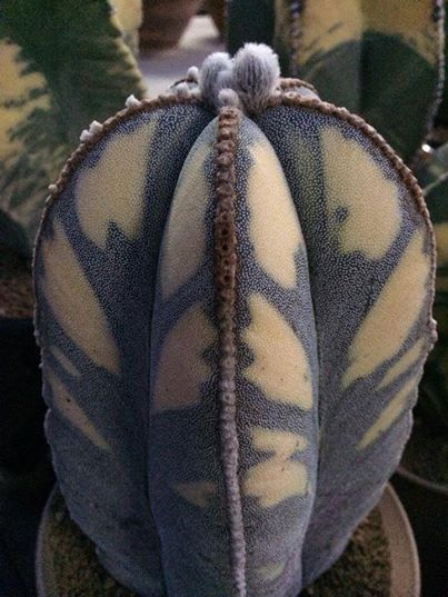 """Claude from Random Rants and Prickly Plants writes,""""That is a real live mutant cactus. The Astrophytums are highly mutable… and for a variagated cactus this ones pretty handsome. And I have to add… when real plants do stuff like this, why bother with fake ones? Leave the plastic for Tupperware."""""""
