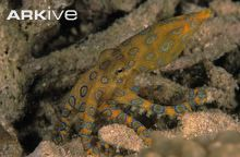 Southern blue-ringed octopus showing blue rings