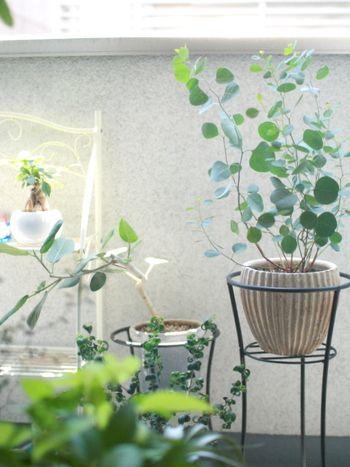 ユーカリはベランダでも育てやすい鉢植えのひとつです。種類によって、枝ぶりや葉のつきかたが異なるのも楽しいですね。鉢植えなら、ゆっくりと成長を眺めることができます。