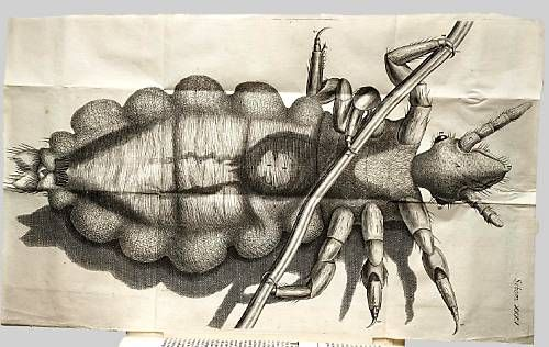 Illustration of a human head louse from Dr. Robert Hooke's Micrographia (1665).